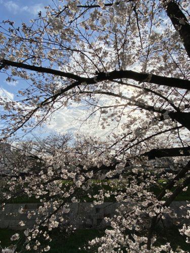 【子連れ名古屋周辺お出かけ】2020年山崎川の桜
