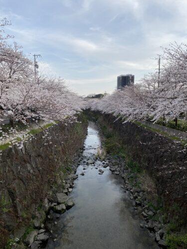 【子連れ名古屋周辺お出かけ】2021年山崎川の桜と名所「桜のトンネル」